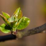 Apple Spring