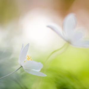 Thimbleweed delight