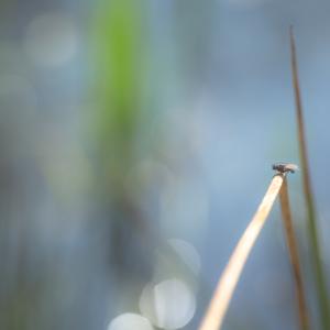 Fliege auf Binse