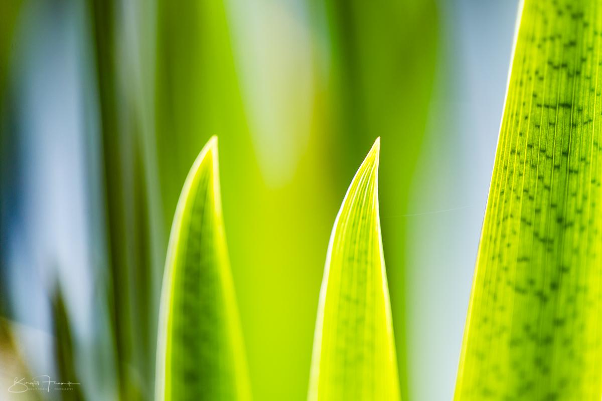 Wasser-Schwertlilienblätter II