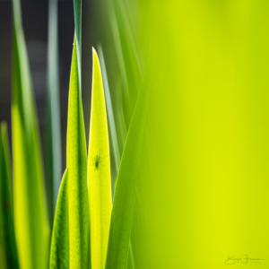 Wasser-Schwertlilienblätter III