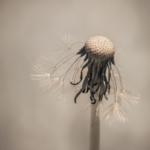 Löwenzahn - Infrarotbild - wenige glänzende Schirmchen