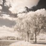 IRre Trees - Im Vordergrund 3 Bäume in Feldern, im Hintergrund weitere Bäume, Infrarotbild
