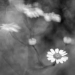 Mutterkraut - schwarzweiß - mit dem Lensbaby fotografiert - nur eine Blüte unten rechts scharf
