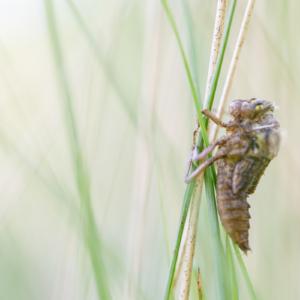 Schlupf einer Libelle I